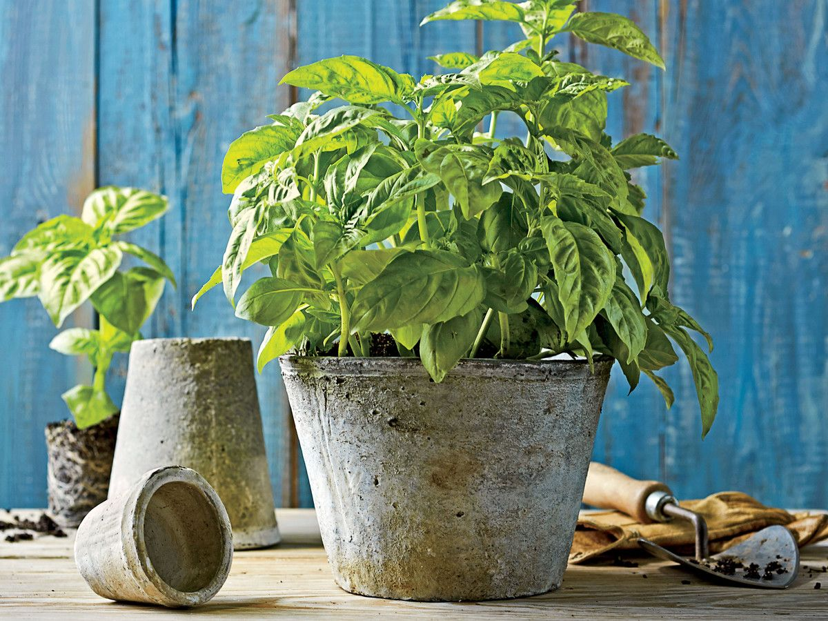 Comment Bien Faire Pousser Du Basilic planter un jardin d'herbes basilic